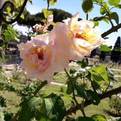 Roms kommunes rosenhave i maj